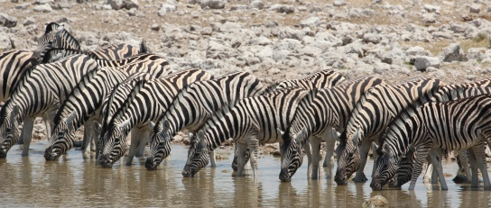 Zebras drinking at a waterhole