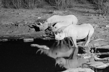 Rhinos at Halali waterhole at night