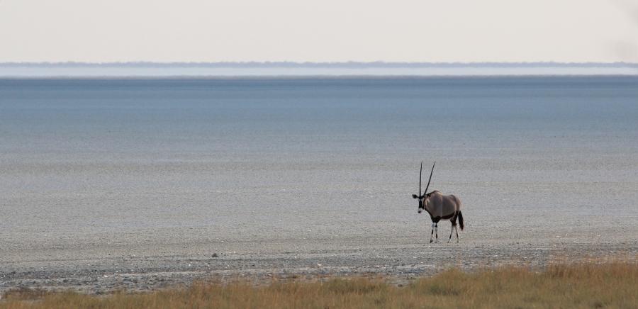 Oryx on the Etosha Pan
