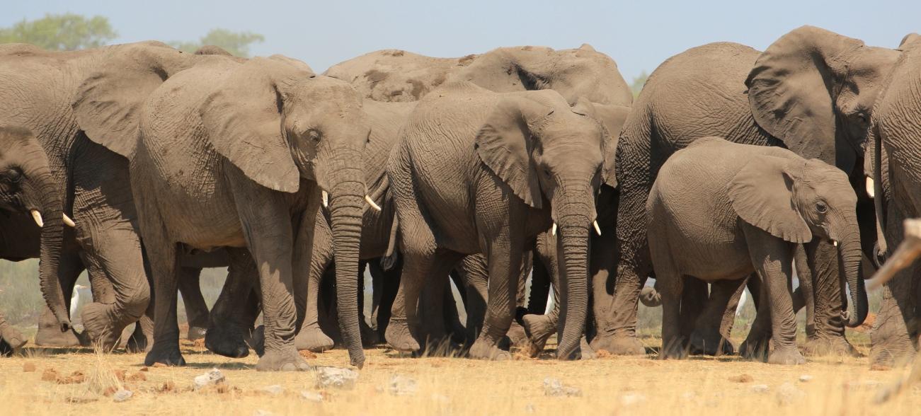 Elephant herd in Etosha