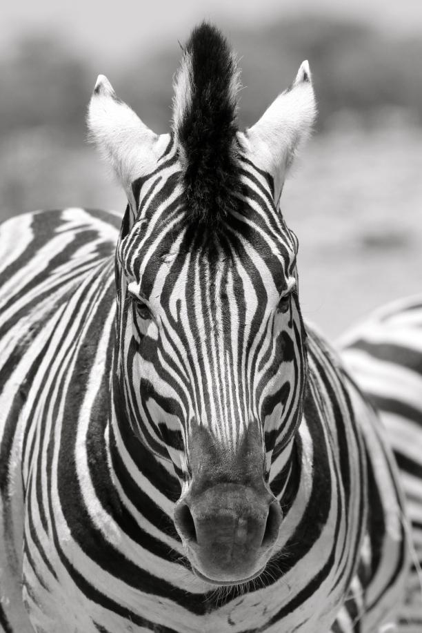 Zebra posing for a camera