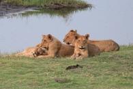 Lions in Chobe