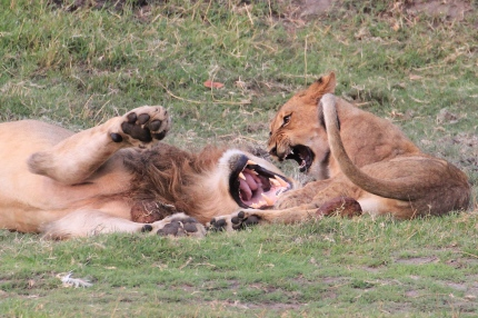 A big male and cub play fighting