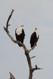 A pair of fish eagles perched on a branch near the Chobe River
