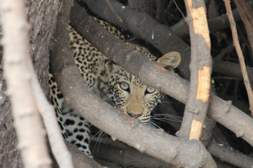 Leopard peering out from vines in a tree