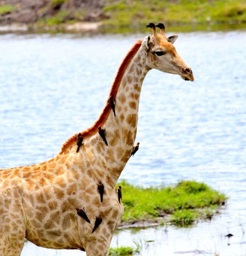 Giraffe with friends