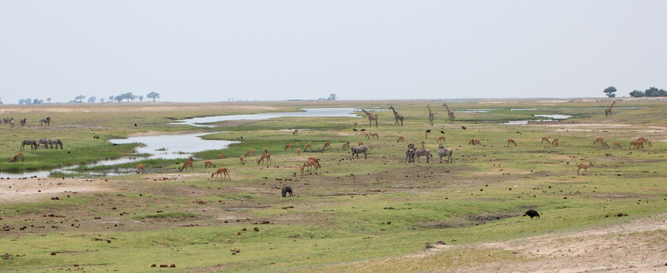This is Africa - a typical scene on the Chobe River with giraffes, warthogs, zebras and more