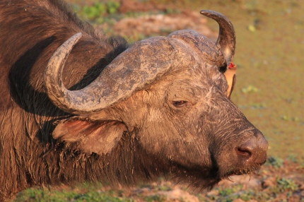 Buffalo with ox picker, South Luangwa National Park