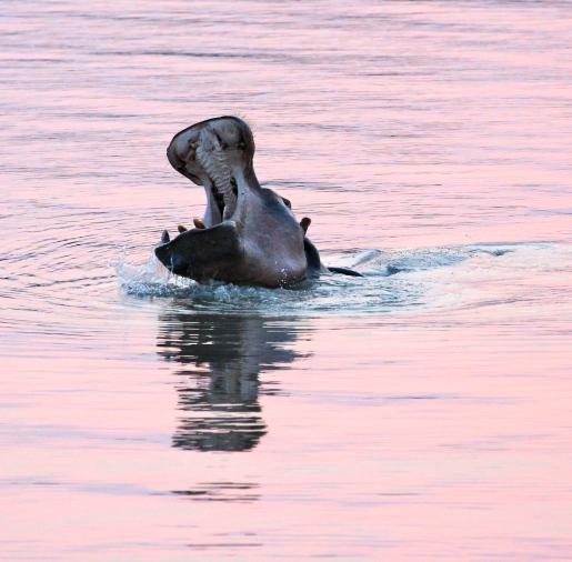 Hippo in the Luangwa River, Zambia