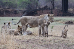 Lion cubs with mother, Zambia