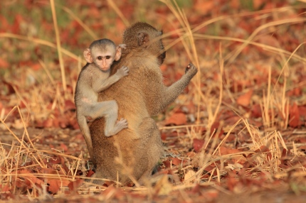 New born monkey with mother
