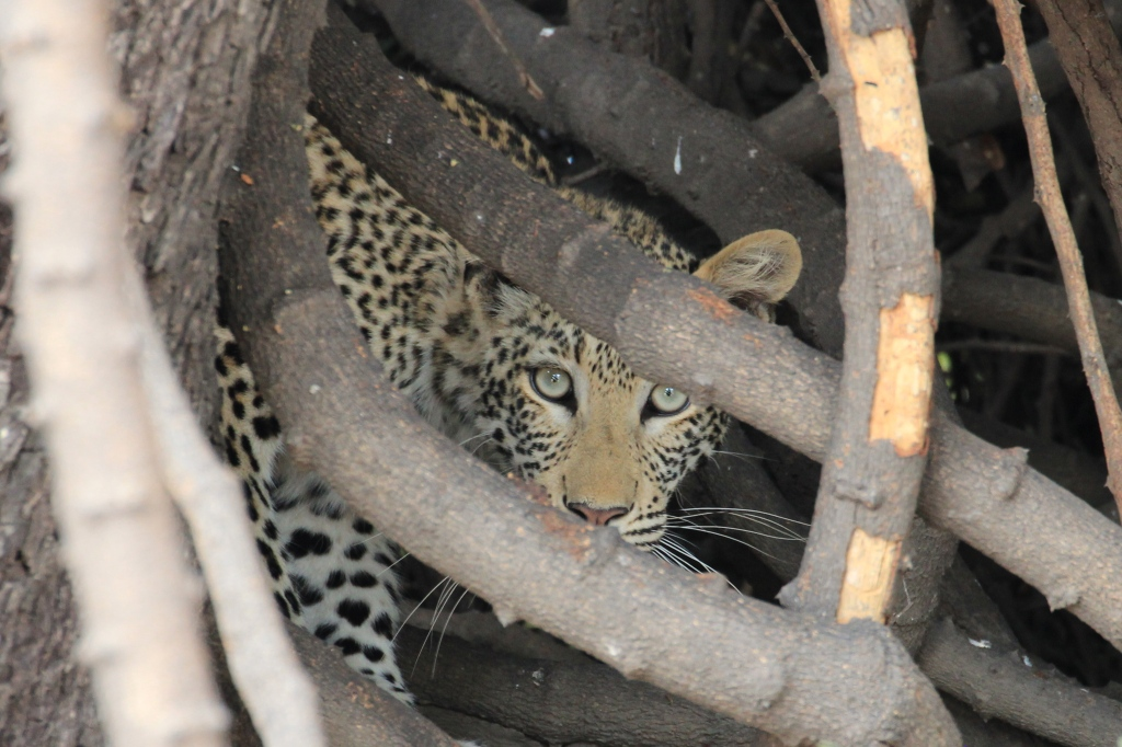 Chobe National Park Leopard