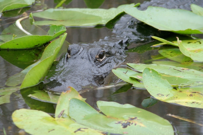 Alligator Hiding in the lilly pads