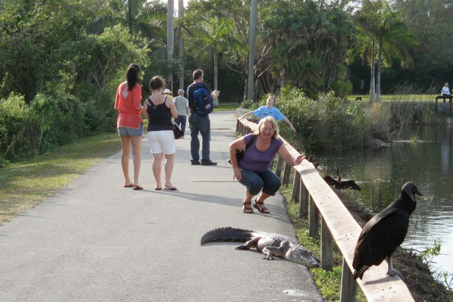 Alligator at Everglades with Tourists