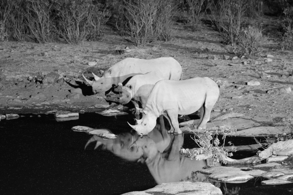 We say Rhinos at the Halali waterhole every night.