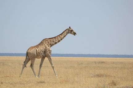 Giraffe in Etosha