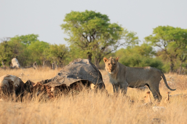 It was worth waking up at 5am to see this lion with an elephant carcass.