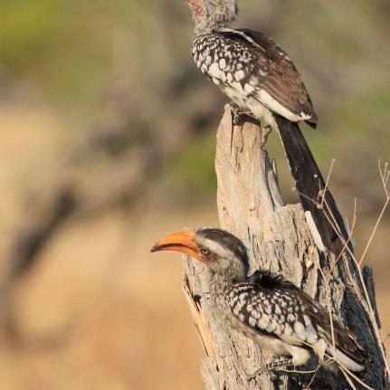 Yellow hornbills in Etosha