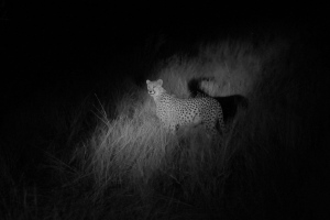 We saw this mother Cheetah with three cubs on the night drive. It was one of our wildlife highlights.