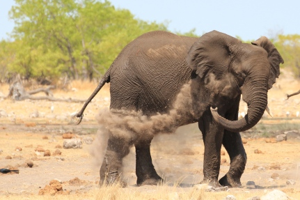 Elephant dirt bath in Etosha National Park