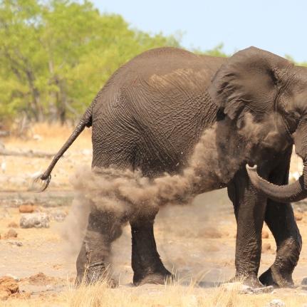 Elephant dirt bath in Etosha National Park