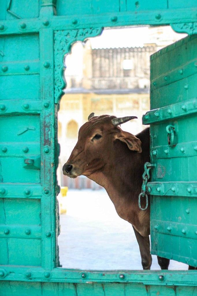 Cow in India looking through door