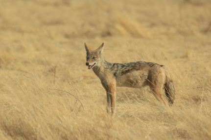 A jackal giving a wide berth to a pride of lions.