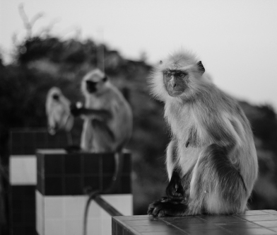 Pushkar monkeys