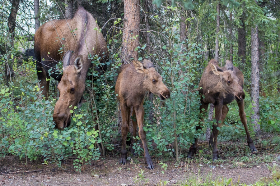 Baby Moose with Mother in Denali