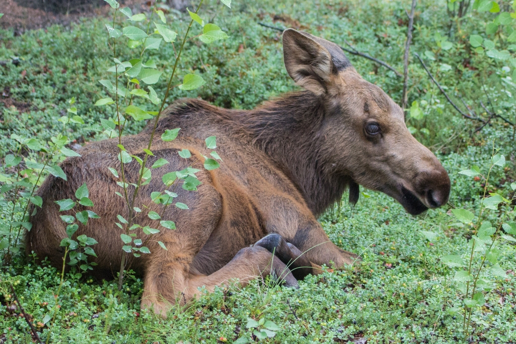 baby moose lying down