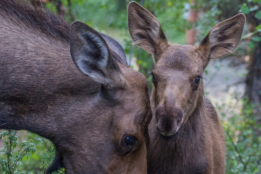 Baby Moose with mother - Denali