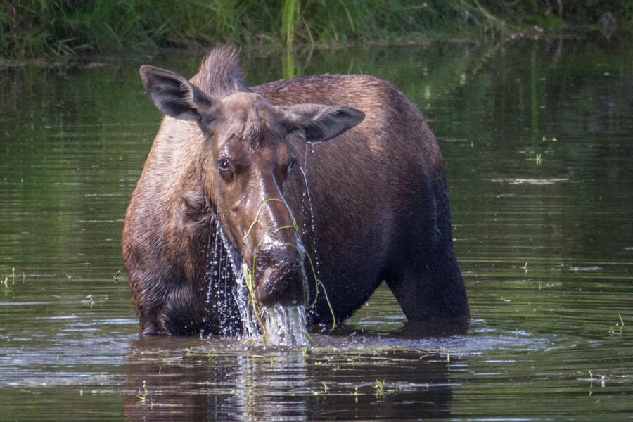 Chena Alaska moose in water