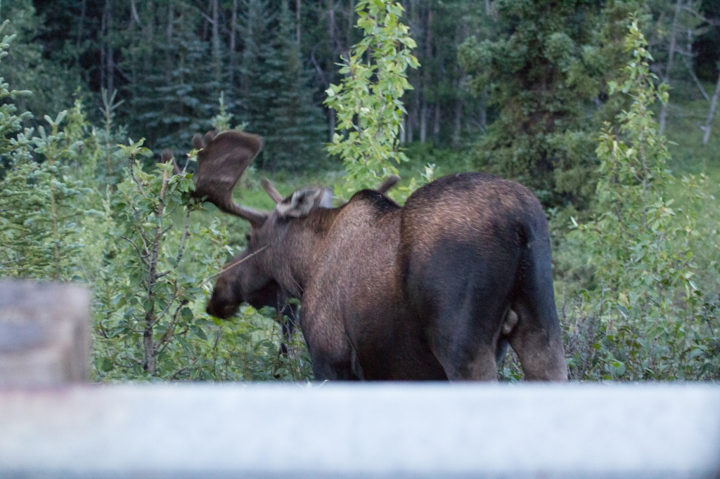 An enormous bull moose who refused to look up at me.