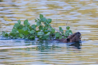 Beaver with a branch in Denali National Park