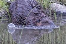 beaver entering a stream