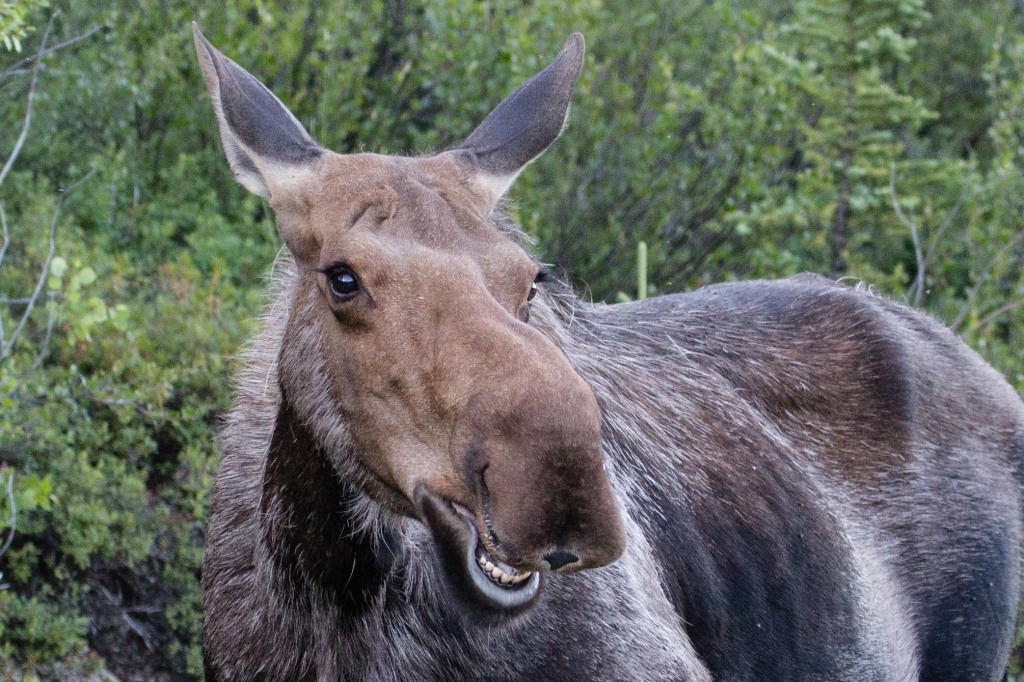 Denali Moose Smiling