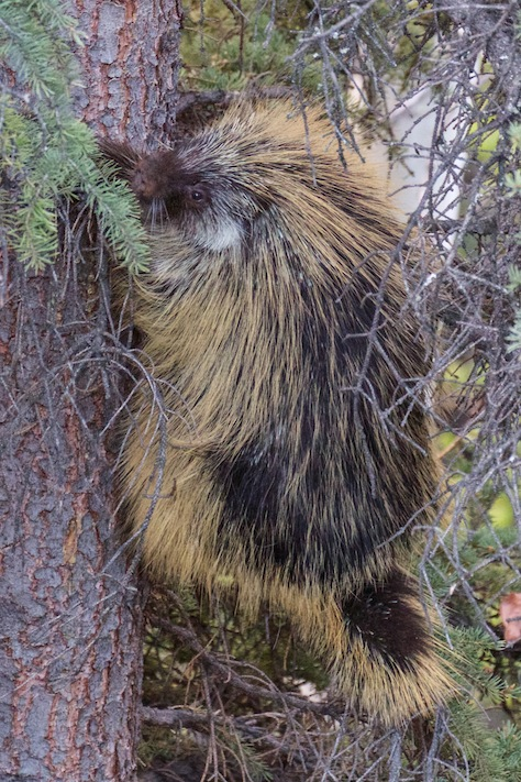 A huge porcupine who threatened to attack me in the spring.