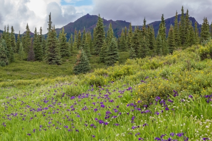Meadow filled with Mountain Iris.