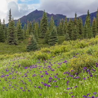 Field of Mountain Iris