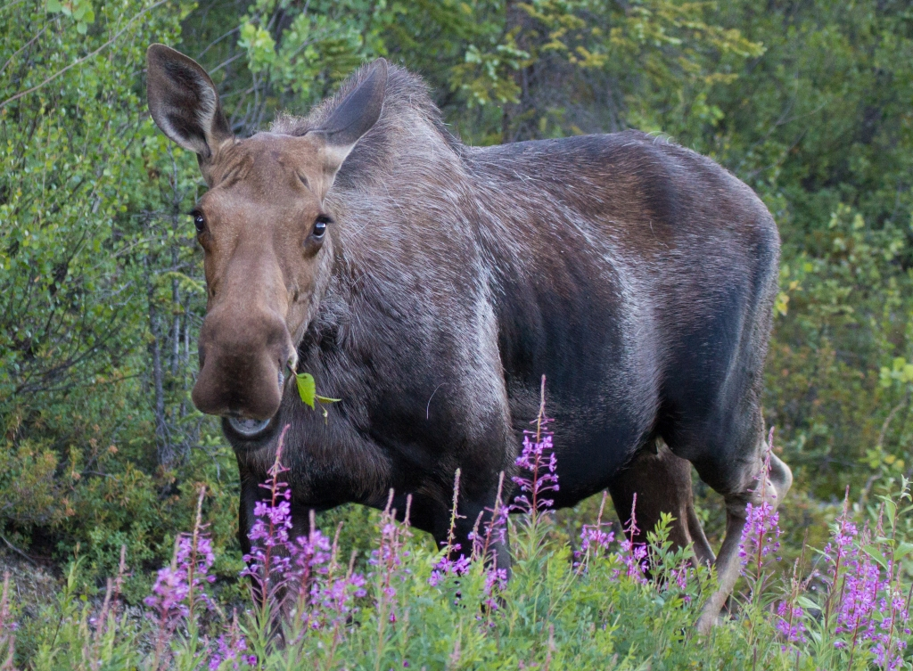 Denali Moose with Fireweed