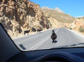 Goat standoff