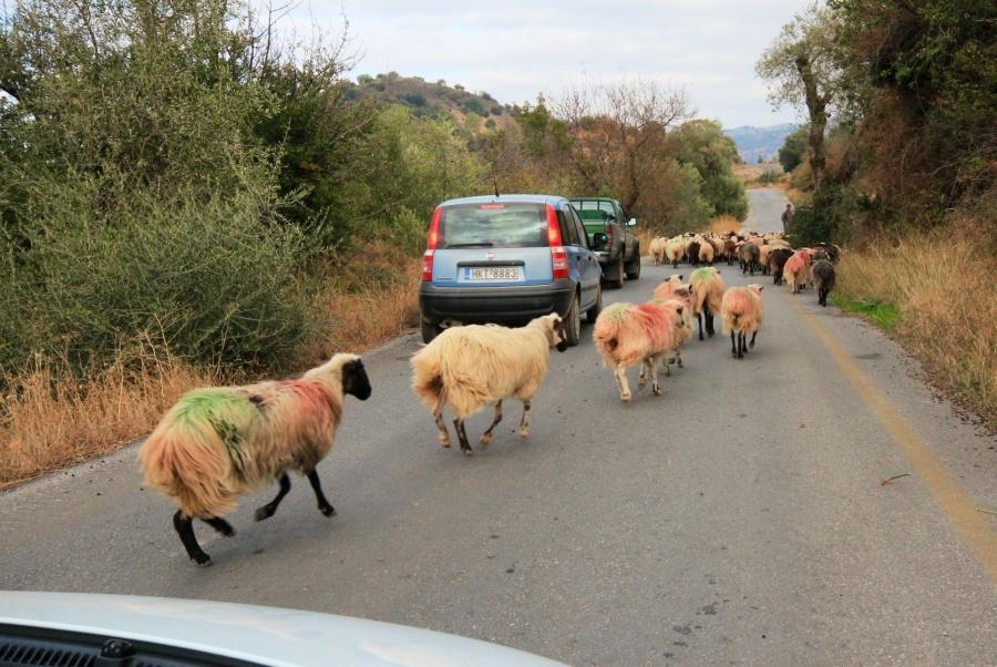 Sheep Crete Road driving rental car