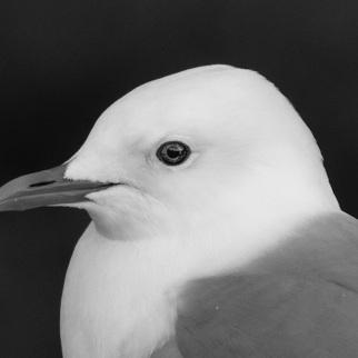 Mew gull black and white