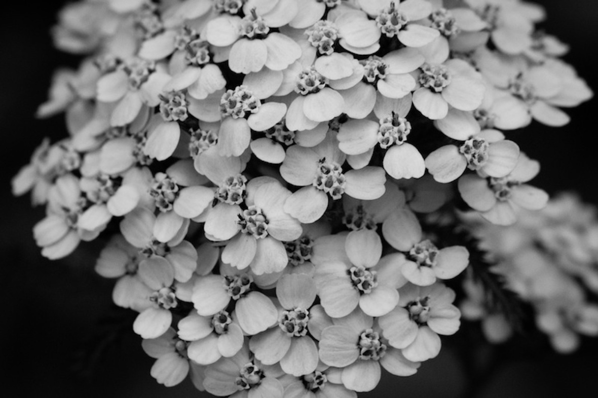 Wildflowers in black and white