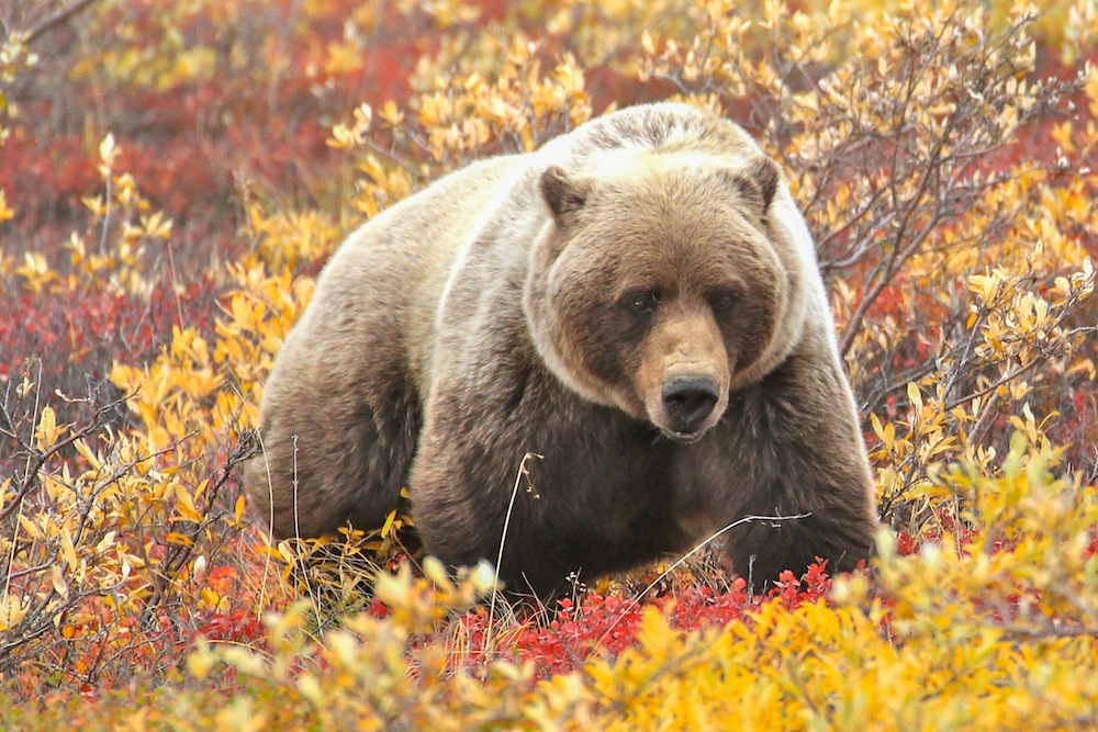 Grizzly bear in autumn tundra