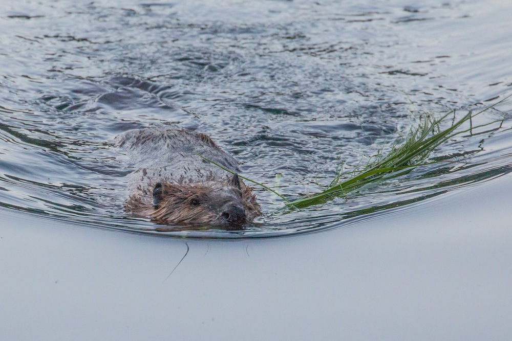 Beaver with grass