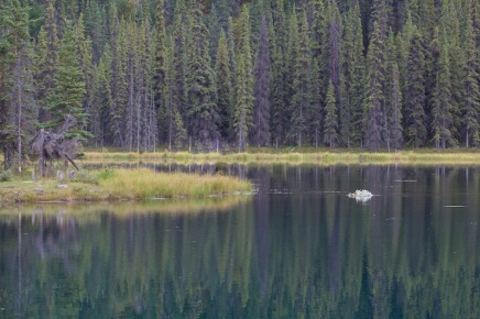 Beaver Horseshoe Lake with branch