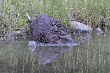 A beaver enters a creek