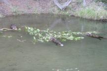 3 beavers eat on tree