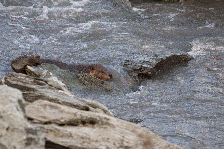 frolicking beaver